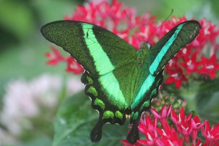 butterflyconserve