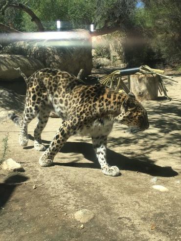 palmspringszooleopard